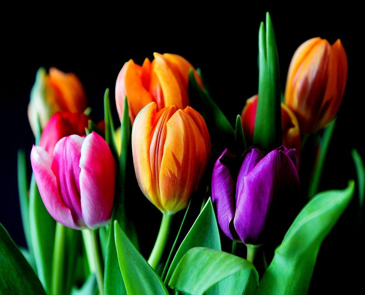 Piantare I Bulbi Di Tulipani tulipani: come piantare i bulbi e far crescere questi