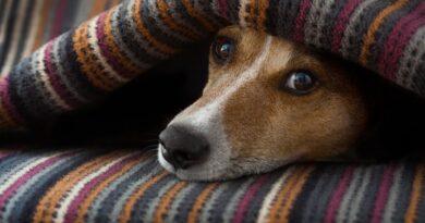 La triste storia di Ken: il cane che, senza mangiare, aspetta sul letto l'amica che non tornerà più